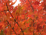 Celebration Maple
