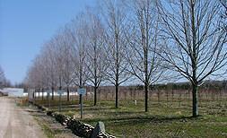 Celebration winter trees