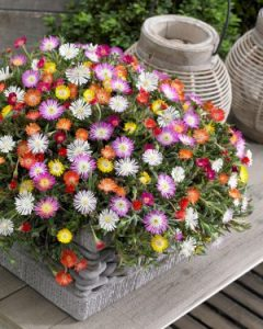 Delosperma mixed