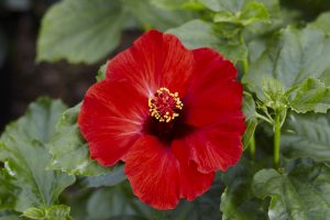 Hot Head Hollywood Hibiscus High Res