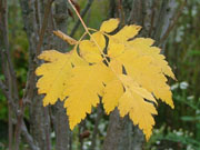 Golden Candle™ Golden Rain Tree Koelreuteria paniculata 'Gocanzam'