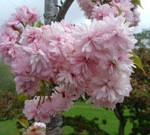 Weeping Extraordinaire™ Double Flowering Cherry