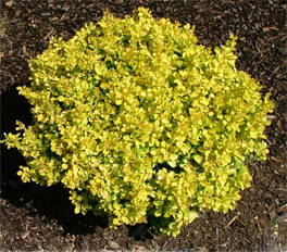 Bonanza Gold® Dwarf Pygmy Barberry