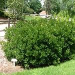 Bobbee™ Bayberry Myrica pensylvanica 'Bobzam'