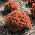 golden ruby barberry