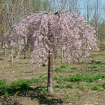 Prunus Pink Snow Showers