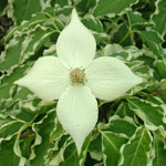 samaritanflower