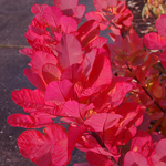 cotinus_old_fashioned_foliage