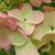 Hydrangea Passionate flowers