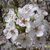 Jack® Dwarf Flowering Pear