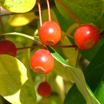 Lollipop® Dwarf Crabapple fruit
