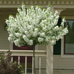Lollipop® Dwarf Crabapple