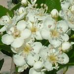 Crusader® Hawthorn flowers