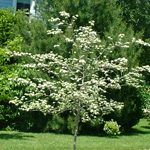 Crusader® Hawthorn flowering tree