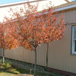 Show Time™ Crabapple Fall Color