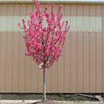 Show Time™ Crabapple Spring Flowering
