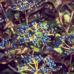 Blue Blaze™ Arrow Wood Viburnum fruit