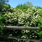 Blue Blaze™ Arrow Wood Viburnum shrub