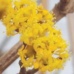 Buttermilk Sky™ Variegated Dogwood Flowers