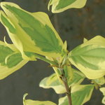 Buttermilk Sky™ Variegated Dogwood Foliage