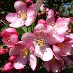 Camelot® Dwarf Crabapple flowers