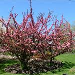 Camelot® Dwarf Crabapple tree