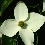 Christian Prince™ Chinese Dogwood flower