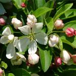 Cinderella® Dwarf Crabapple flower