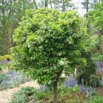 Cinderella® Dwarf Crabapple tree
