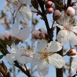 Crimson Pointe™ Flowering Plum flowers