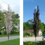 Crimson Pointe™ Flowering Plum Trees