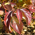 Cuyahoga™ Gray Dogwood foliage