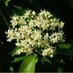 Cuyahoga™ Gray Dogwood flower