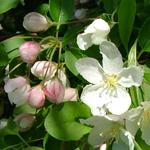 Excalibur™ Dwarf Crabapple flower