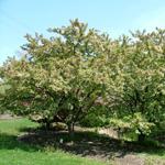 Excalibur™ Dwarf Crabapple tree
