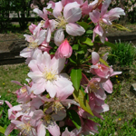 Sir Galahad® II Dwarf Crabapple flowers