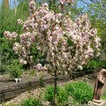 Sir Galahad® II Dwarf Crabapple tree