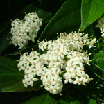 Geauga® Gray Dogwood flower