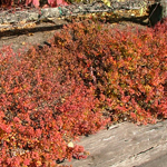 Green Hornet™ Dwarf Pygmy Barberry Fall Color