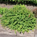 Green Hornet™ Dwarf Pygmy Barberry Spring Foliage