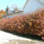 Geauga® Gray Dogwood fall hedge