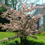 Guinevere® Dwarf Crabapple spring flowering tree