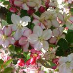 Guinevere® Dwarf Crabapple flowers