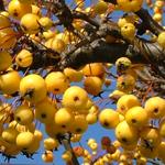 Harvest® Crabapple Fruit