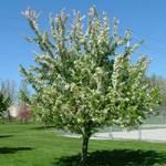 Harvest® Crabapple Flowering Tree