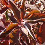 Huron® Gray Dogwood fall foliage