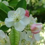 King Arthur® Dwarf Crabapple flower