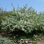 King Arthur® Dwarf Crabapple flowering tree