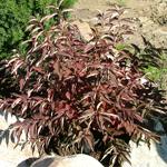 Mahoning™ Gray Dogwood fall foliage