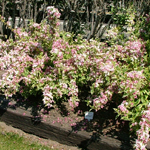 Mor-Colourful™ Weigela Flowering Shrub